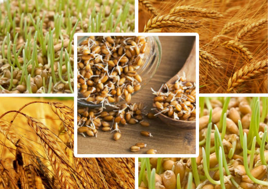 Чем полезна пророщенная пшеница и как прорастить пшеницу