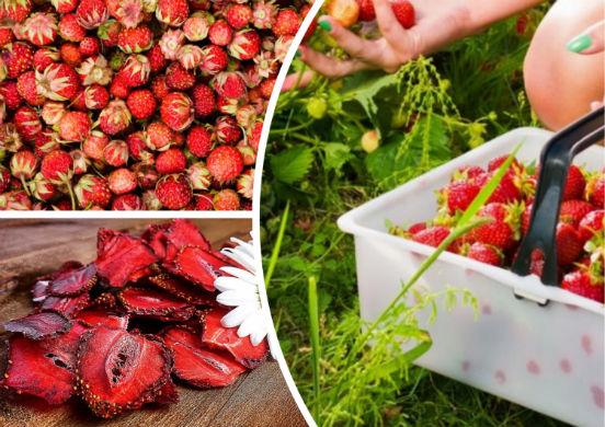 Сушеная клубника - полезное лакомство, которое без проблем можно заготовить в домашних условиях