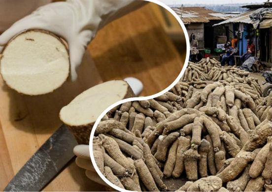 Ямс - удивительный корнеплод, обладающий множеством полезных свойств для организма человека
