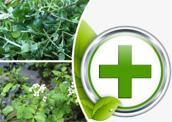Водяной кресс - фаст-фуд 19 века или уникальное растение, использующееся в пищевых и лечебных целях